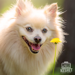 Picture of the Day (Keshet Kennels & Rescue) Tags: adoption dog dogs canine ottawa ontario canada keshet large breed animal animals kennel rescue pet pets field nature photography learning dandelion pomeranian cute little fuzzy plant