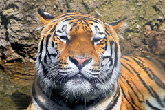 Tiger in Water 3 (dennisgg2002) Tags: cleveland zoo ohio oh animals
