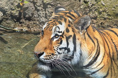 Tiger in Water 2 (dennisgg2002) Tags: cleveland zoo ohio oh animals
