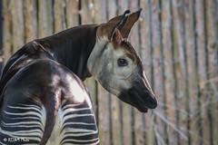 Cincinnati Zoo 7-13-19-8878 (joemastrullo) Tags: cincinnati zoo botanical garden