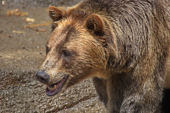 Smiling Brown Bear (dennisgg2002) Tags: cleveland zoo ohio oh animals