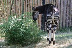 Cincinnati Zoo 7-13-19-8861 (joemastrullo) Tags: cincinnati zoo botanical garden