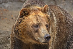 Brown Bear 7 (dennisgg2002) Tags: cleveland zoo ohio oh animals