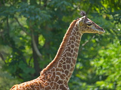 3 Month Old Giraffe (dennisgg2002) Tags: cleveland zoo ohio oh animals