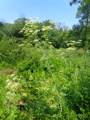 Poison Hemlock (Conium maculatum), The Plant That Killed Socrates (Laurette Victoria) Tags: plant flower poisonhemlock apiaceae coniummaculatum wisconsin weed