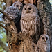 Barred Owl Family Portrait (NorthShoreTina) Tags: owl barredowl