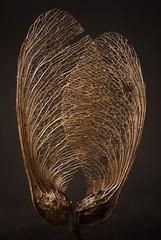 Macro Mondays-Patterns in Nature (babrey-au) Tags: macromondays naturepatterns patternsinnature seed samara