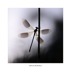 "Série "" Fou d'ailes"" (bertholino fabrice) Tags: fabricebertholino ailes caloptéryx drangonfly libellule odonate carré nature macro proxy sigma105macrooshsm nikond600 fullframe bokeh"