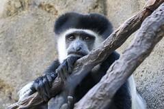 Cincinnati Zoo 7-13-19-9127 (joemastrullo) Tags: cincinnati zoo botanical garden