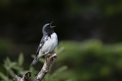 Paruline bleue / Black-throated Blue Warbler (Fpoitras) Tags: