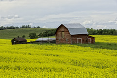 Country Summer Time (brentus69) Tags: alberta canada country canola barn red summer field clouds nikon d4 nikond4 tomahawk green