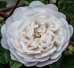 Ring-a-ring-a-roses (alisonsage1) Tags: macromondays patternsinnature flower rose miniaturerose