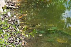 DSC_0324 (Helge6path) Tags: flora animals frog spying mud lake water green nature natur naturephotography macro macrophotography close closeup