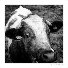 My friend Daisy (G. Postlethwaite esq.) Tags: bw norbury staffordshire unlimitedphotos animal blackandwhite bovine bridge cow farm longexposure monochrome photoborder portrait riverdove water