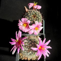mammillaria boolii + mammillaria sheldonii (oleg159) Tags: cactus succulent mammillaria sheldonii boolii flower blooming