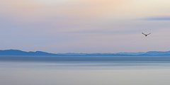 Ocean Pastels (jbarc in BC) Tags: ocean sea water seagull bird pastel pastels landscape view sunset calm exposure nikonz7 westcoast bc vancouver whiterock blur seas peaceful boundarybay semiahmoo lines waves smooth