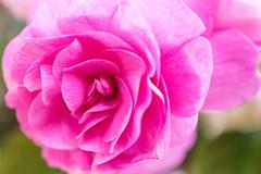 Pink Rose (Maria Eklind) Tags: rose mönster nature flower macromondays patternsinnature ros blomma pink