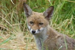 Young Fox (StevePaisley) Tags: fox cub mammal