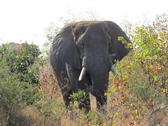 Snacktime   ( African Elephant / Olifant ) (Pixi2011) Tags: elephants krugernationalpark southafrica africa wildlifeafrica big5 wildlife nature