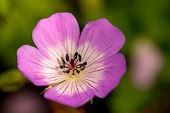 Garden delight (odell_rd) Tags: garden macromondays patternsinnature geranium tamronsp90 ngc coth5