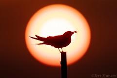 A New Day (Explore 7/15/2019) (tkfranzen) Tags: commontern nickersonbeach beachbirds conservation longislandny longislandcoast bird sunrise