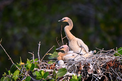 Expectant Waiting (craig goettsch) Tags: dingdarlingnwr anhinga darter bird avian chick baby nature wildlife nest animals nikon d500