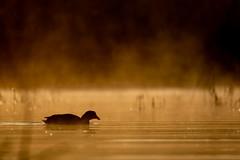 Foulque (jipvag) Tags: foulque contrejour matin oiseau faune affutflottant dombes fujifilmxt3 fujixf100400mm brume étang