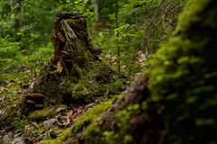 Nature gives and nature takes (Ernst_P.) Tags: aut inzing mühltal österreich tirol wald pflanze moos baumstamm bosque forest sigma art 50mm f14
