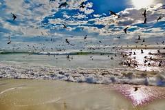 Seagulls & Pelicans feeding at WindanSea Beach, La Jolla (cjbphotos1) Tags: seagulls pelicans windansea beach lajolla california pacific ocean sand waves clouds sky travel coastal coastline
