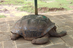 Giant Tortoise (Rckr88) Tags: pamplemousses mauritius giant tortoise gianttortoise gianttortoises tortoises reptile reptiles ancient animals animal botanical botanicalgardens botanicalgarden garden gardens nature naturalworld outdoors travel travelling animalsanctuary animalpark