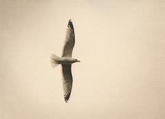 Gull (justin.syndercombe) Tags: film filmisnotdead lith lithprint fomatone canoneos30 hp5 darkroom bird gull