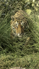COMING OUT FROM BUSHES (Naturographers87) Tags: tiger ranthambore royalbemgaltiger