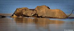 Afrcan Elephant (leendert3) Tags: leonmolenaar southafrica krugernationalpark naturereserve naturalhabitat nature wildlife wildanimal wilderness mammal africanelephant