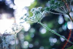 fun creation (Yuki (8-ballmabelleamie)) Tags: flora flowers woods grove evening singlefocus fixedfocus bokeh green ray light beam outdoor nature lensflare 50mmlens autofocus wildflowers