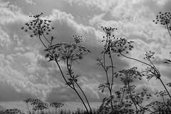 Ammi silhouette (theoldsmithy) Tags: garden clouds flower sony summer appicoftheweek sky rx100m3 mono