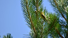 Prairie Warbler in the Kennebunk Plains (Nicolas Forestell) Tags: tamron birdphotography wildlifephotography nikond5600 york kennebunk yorkcounty kennebunkplains setophaga setophagadiscolor bird birds warbler warblers prairiewarbler parulidae