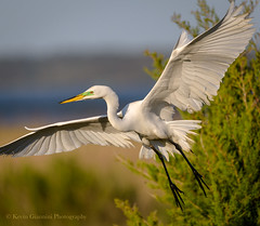 Great Egret (Kevin James54) Tags: ardeaalba greategret nikond850 tamron150600mm wilmington animals avian bird egret fortfisher kevingianniniphotocom