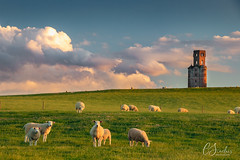 Stealing Sheep - 2 (Christine down south) Tags: hortontower horton dorset countryside farmland sheep flock hill tower folly observatory