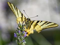 IL PESO DELLA FARFALLA. (FRANCO600D) Tags: patternsinnature hmm macromondays macro farfalla butterfly lavanda fiore flower lavenderflower lavender