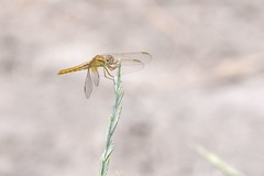Sympetrum fonscolombii (Marc ALMECIJA) Tags: dragonfly libellule outdoor outside nature natur wildlife panasonic g9 100400 camargue