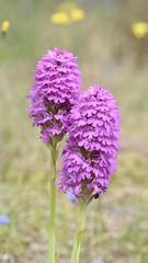 Pyramidal Orchid #1 (MJ Harbey) Tags: flower orchid pyramidalorchid anacamptispyramidalis mo ocots asparagales orchidaceae orchidoideae anacamptis anglesey wales nikon d3300 nikond3300