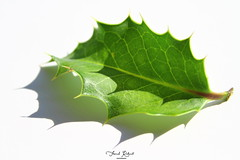 Patterns in Nature (Franck.Robinet) Tags: nature feuille leaf houx macromondays patternsinnature