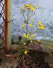 Surviving (claudine6677) Tags: überleben löwenzahn pflanze dandelion survive unkraut weed