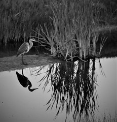 July15Image8878 (Michael T. Morales) Tags: heron greatblueheron blueheron pebblebeach silhouette reflection water bird reeds 17miledrive