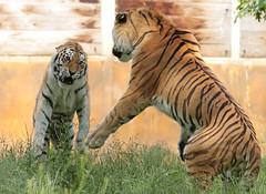 amurtiger Colina and Taymir Ouwehand 094A0765 (j.a.kok) Tags: animal asia azie amurtiger amoertijger siberischetijger siberiantiger tijger tiger ouwehands ouwehandsdierenpark zoogdier dier mammal cat kat taymir colina
