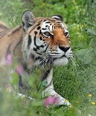 amurtiger Colina Ouwehand 094A0669 (j.a.kok) Tags: animal asia azie amurtiger amoertijger siberischetijger siberiantiger tijger tiger ouwehands ouwehandsdierenpark zoogdier dier mammal cat kat taymir colina
