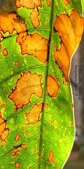 Nature's Palette (Anuradha Nautiyal) Tags: macromondays patternsinnature leaf pattern backlight phonephotography shotoniphone iphonex rain rainshower bangalore bengaluru karnataka india