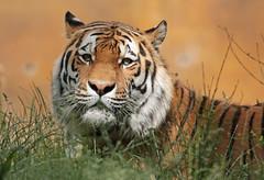 amurtiger Taymir Ouwehand 094A0821 (j.a.kok) Tags: animal asia azie amurtiger amoertijger siberischetijger siberiantiger tijger tiger ouwehands ouwehandsdierenpark zoogdier dier mammal cat kat taymir colina