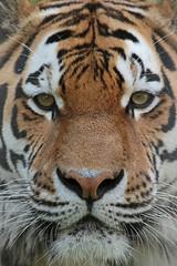 amurtiger Taymir Ouwehand 094A0836 (j.a.kok) Tags: animal asia azie amurtiger amoertijger siberischetijger siberiantiger tijger tiger ouwehands ouwehandsdierenpark zoogdier dier mammal cat kat taymir colina