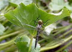 ..gerade geschlüpft (3) (peterphot) Tags: libelle leica natur juli gartenteich